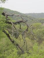 holm oak9 14-4-15