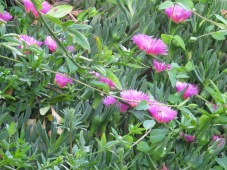 ice plant, pink flowers 5-4-15