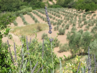 lavender against olive grove 8-7-14