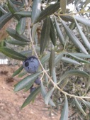 olives ready to harvest2 9-12-15