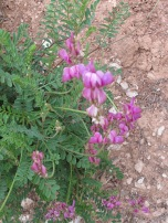 pink - Tufted Vetch 14-4-15