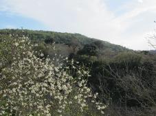 plum blossom1 5-4-15