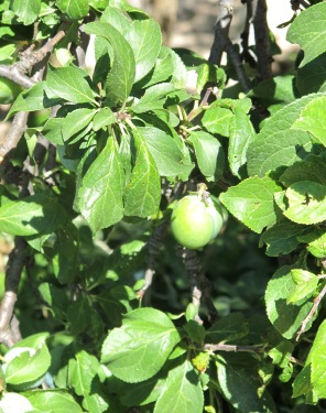 plums in july2 6-7-11 (2)
