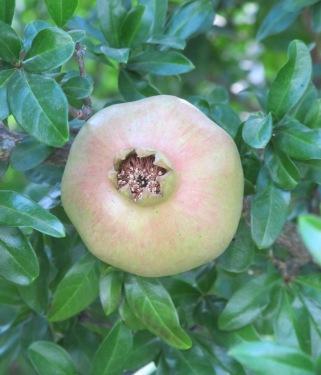 pomegranate 24-7-11 (2)