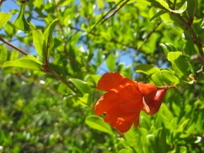 pomegranate flower 17-6-15