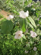 quince blossom1 5-4-15
