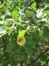 quince on the tree 17-6-15
