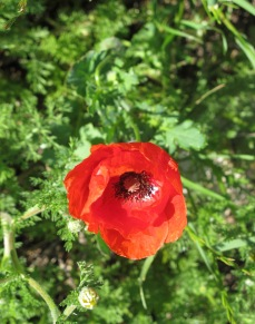 red poppy in april 28-4-11 (2)