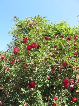 rose bush 8-5-14 (2)