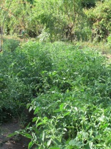 rows of tomatoes 22-7-15