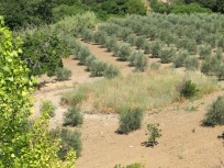 the olive grove 17-6-15