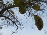walnut2 15-12-15