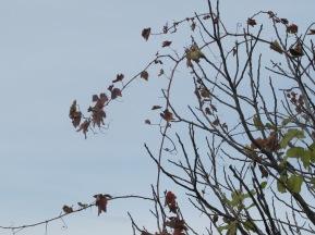 wild grape, winding through a wild fig 15-12-15