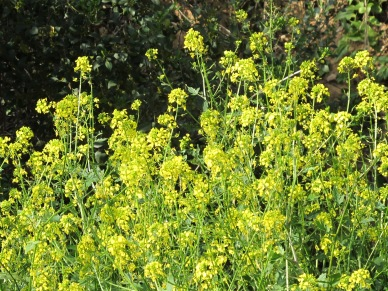 wildflowers, yellow - charlock 5-4-15