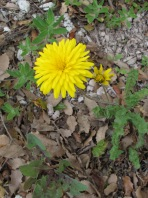 yellow - colt's foot 14-4-15