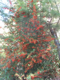 cotoneaster1 23-9-15