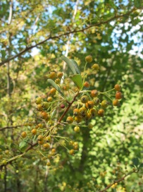 cotoneaster2 23-9-15