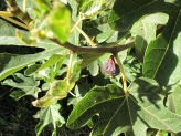 fig, wrinkled on tree2 23-9-15