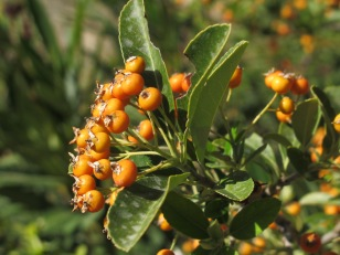orange berries 23-9-15
