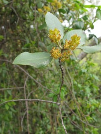 orange-flowered tree1 14-4-15