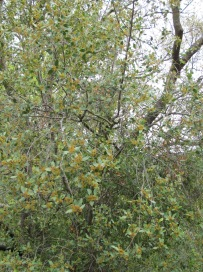 orange-flowered tree2 14-4-15
