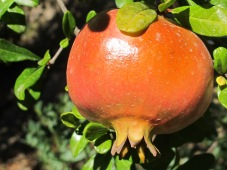 pomegranate1 23-9-15