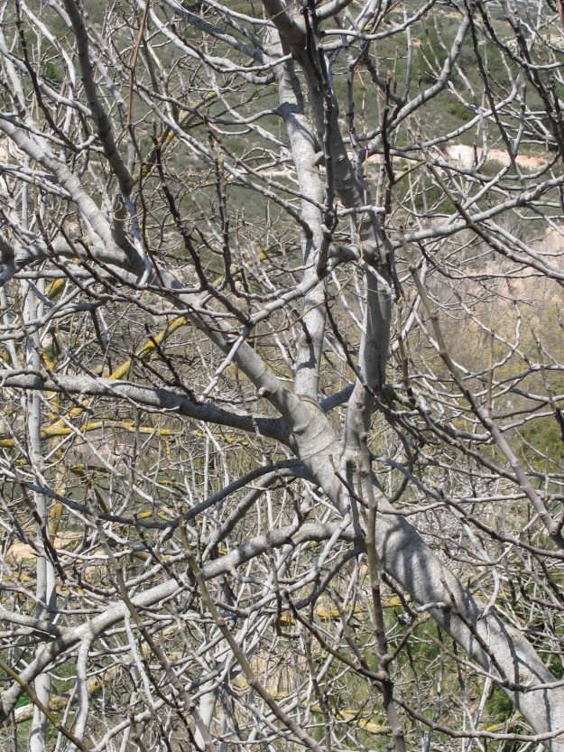 silvered walnut branches & yellow lichen1 17-3-16