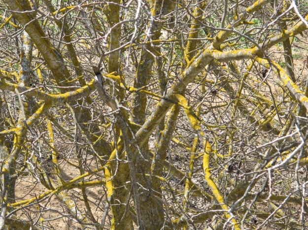silvered walnut branches & yellow lichen2 17-3-16