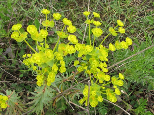 yellow wildflower - cypress spurge 23-3-16