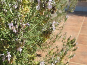 bee on rosemary1 23-9-15