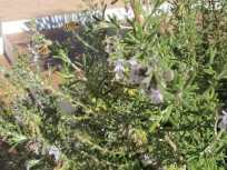 bee on rosemary2 23-9-15