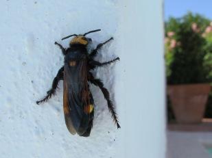 mammoth wasp1