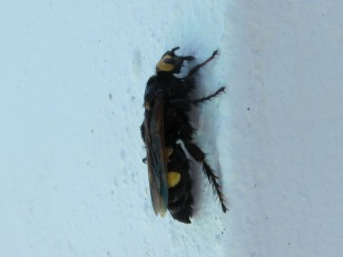 mammoth wasp2