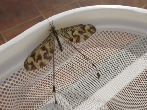 the lacewing