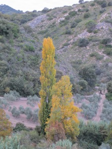 11-nov-poplar-going-gold
