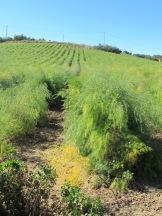 asparagus field - green going yellow