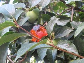 caqui-on-the-tree5