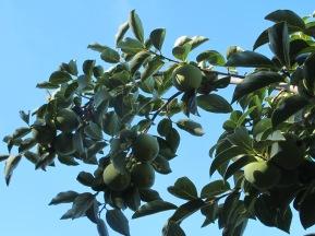 caqui-on-the-tree6