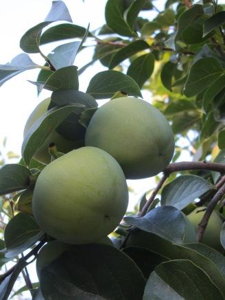 caqui-on-the-tree7