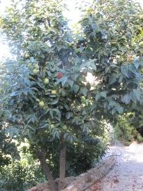 caqui-tree