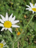 close-up-of-white-daisy