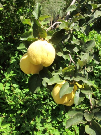 golden-quince-as-soft-as-velvet