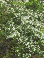 hawthorn-in-april