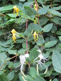 honeysuckle-reliable-flowers