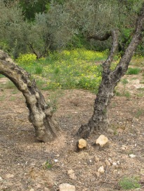 olive-tree-sawn-off3