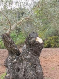olive-tree-sawn-off4