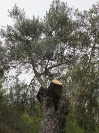 olive-tree-sawn-off5