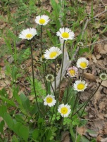 oxeye-daisy