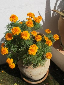 pot-of-bright-orange-marigolds