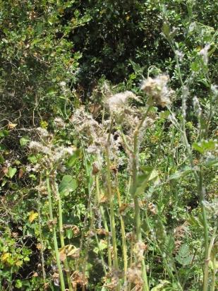 pretty-seedheads